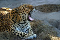 Yawning leopard Royalty Free Stock Photo
