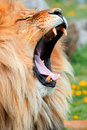 Yawning lion Stock Photography