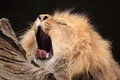 Yawning lion Royalty Free Stock Image