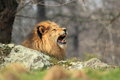 Yawning lion Stock Images