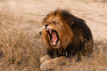 Yawning lion Stock Image