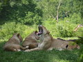 Yawning Lion Royalty Free Stock Photography
