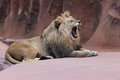Yawning lion the adult of male Royalty Free Stock Images