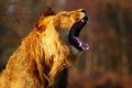 Yawning lion in a forest Royalty Free Stock Photo