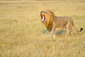 Yawning lion male on the grassland of the masai mara in kenya Stock Image