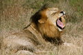 Yawning lion this male relaxes amongst the grasslands Stock Image