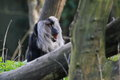 Yawning lion tailed macaque among the trees Stock Image