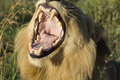 Yawning lion with wide open mouth in south africa Royalty Free Stock Photo