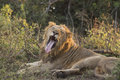Yawning lion a young male and sticking out his tongue Stock Images