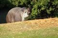 Yawning lowland tapir Stock Image