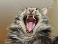 Yawning Maine coon Stock Images