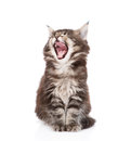 Yawning maine coon cat. isolated on white background Royalty Free Stock Photo
