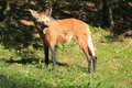Yawning maned wolf in the grass Royalty Free Stock Photography