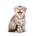 Yawning scottish kitten sitting in front isolated on white Royalty Free Stock Photos