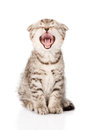 Yawning scottish kitten sitting in front isolated on white Stock Photo