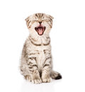 Yawning scottish kitten sitting in front isolated on white Royalty Free Stock Photography