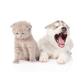 Yawning Siberian Husky puppy dog and small scottish cat together. isolated on white Royalty Free Stock Photo