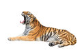 Yawning siberian tiger isolated on white Royalty Free Stock Photo