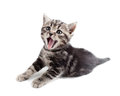 Yawning striped Scottish kitten lying Stock Image