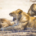 Yawning young male lion rests in Serengeti Royalty Free Stock Photo
