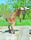 Yeah, it's summer! Goat kid leaping Royalty Free Stock Photo
