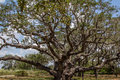 Year old big tree an oak that is over years in goose island state park texas Royalty Free Stock Photo