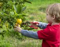 A 3 year old boy outside in a green garden picking lemons with garden clippers Royalty Free Stock Photo