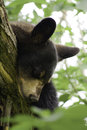 Yearling black bear sleeping in a tree Stock Image