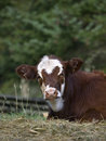 Yearling Calf Royalty Free Stock Photo