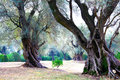 300 years old olive trees. Garden. France