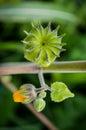 Yellow Abutilon theophrasti top view Royalty Free Stock Photo