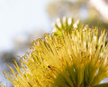 Yellow agave flower Royalty Free Stock Photo
