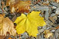 Yellow ahorn leaf on mulch background Royalty Free Stock Image