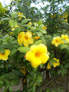 Yellow alamanda Royalty Free Stock Photo