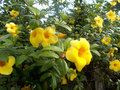 Yellow alamanda flowers at the tree Royalty Free Stock Photo