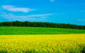 Yellow allee field in front of grass and forest beautiful colors Stock Photos