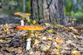 Yellow amanita in forest fairy mushroom sunny Royalty Free Stock Image