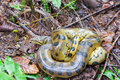 Yellow anaconda a coiled up seen deep in the amazon rainforest in peru Royalty Free Stock Image