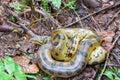 Yellow Anaconda Royalty Free Stock Photo