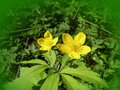 Yellow anemone flower flowers blooming in forest Royalty Free Stock Photography