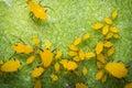 Yellow Aphids Macro Royalty Free Stock Photo