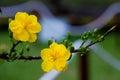 Yellow Apricot blossom closeup ( Hoa mai ) Royalty Free Stock Photo