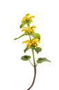 Yellow archangel lamiastrum galeobdolon wild flower isolated against white Royalty Free Stock Photos