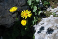 Yellow arnica flower beautiful in the mountains Royalty Free Stock Photography