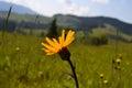 yellow Arnica montana Royalty Free Stock Photo