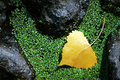 Yellow Aspen Leaf Stock Photo
