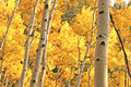 Yellow Aspen Trees Royalty Free Stock Images