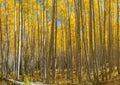 Yellow Aspen Trees Royalty Free Stock Photo