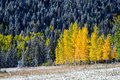 Yellow aspens in colorado mountain Royalty Free Stock Photos
