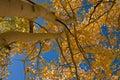 Yellow Aspens and Sky Stock Photo